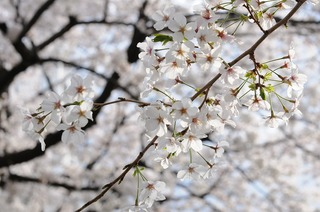 picture_0073 桜.jpg